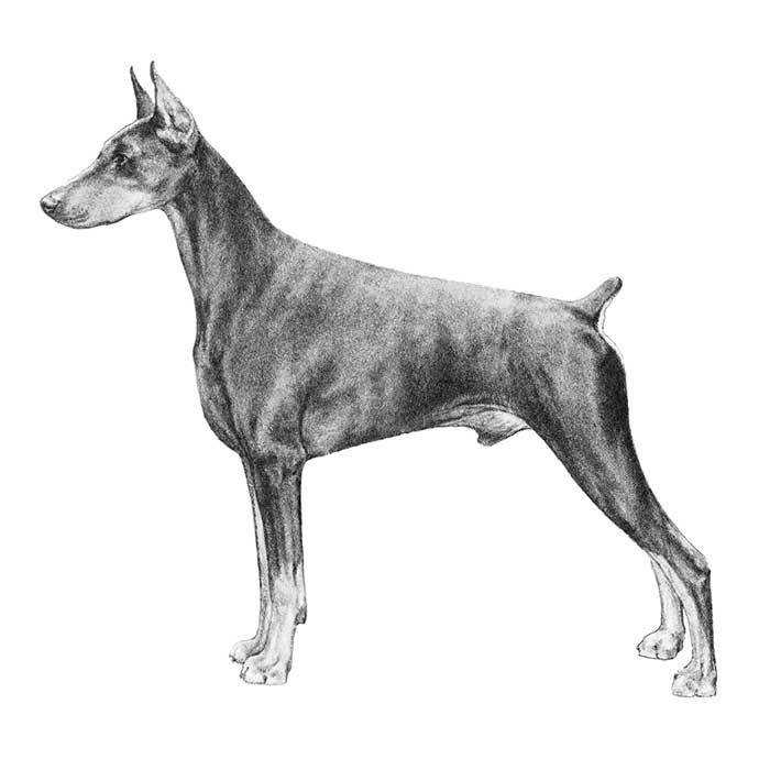 Doberman Pinscher Breed Standard Illustration