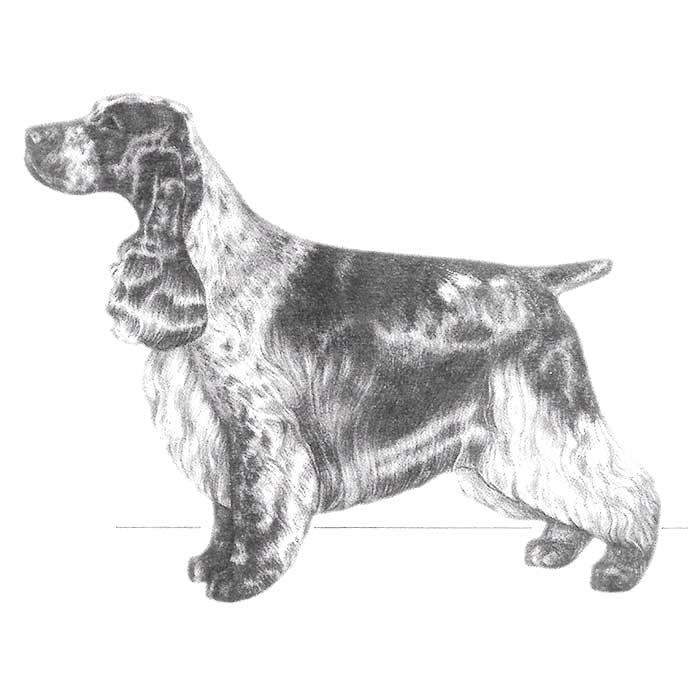 English Cocker Spaniel Breed Standard Illustration