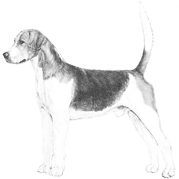 English Foxhound Breed Standard Illustration