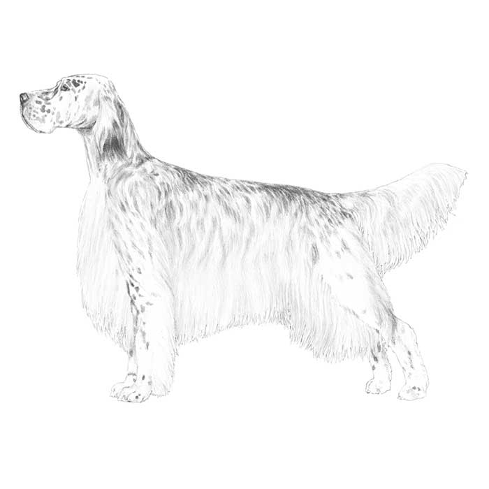 English Setter Breed Standard Illustration