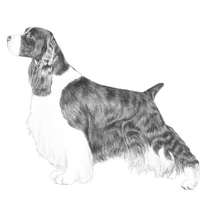 English Springer Spaniel Breed Standard Illustration
