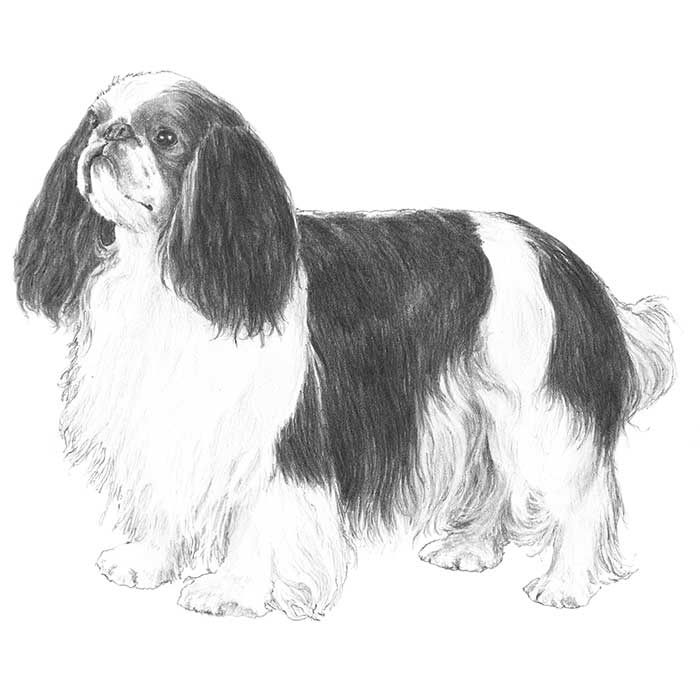 English Toy Spaniel Breed Standard Illustration