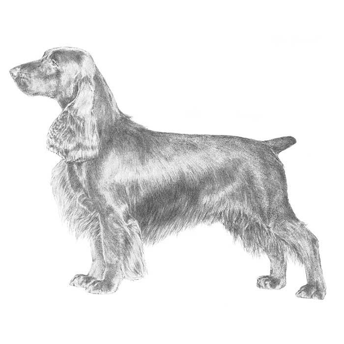 Field Spaniel Breed Standard Illustration