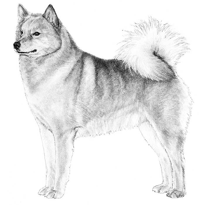 Finnish Spitz Breed Standard Illustration