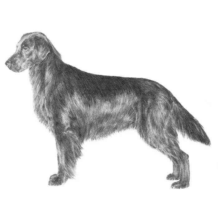 Flat-Coated Retriever Breed Standard Illustration