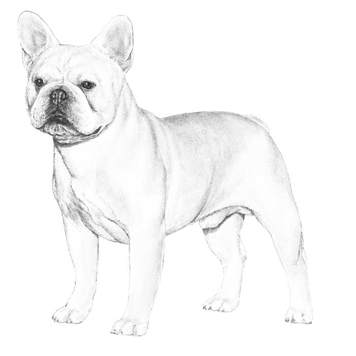 French Bulldog Breed Standard Illustration