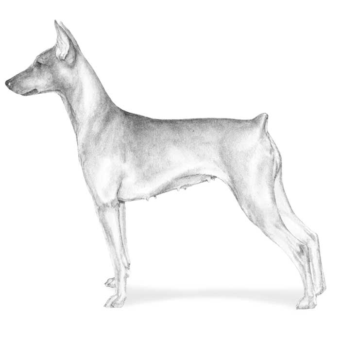German Pinscher Breed Standard Illustration