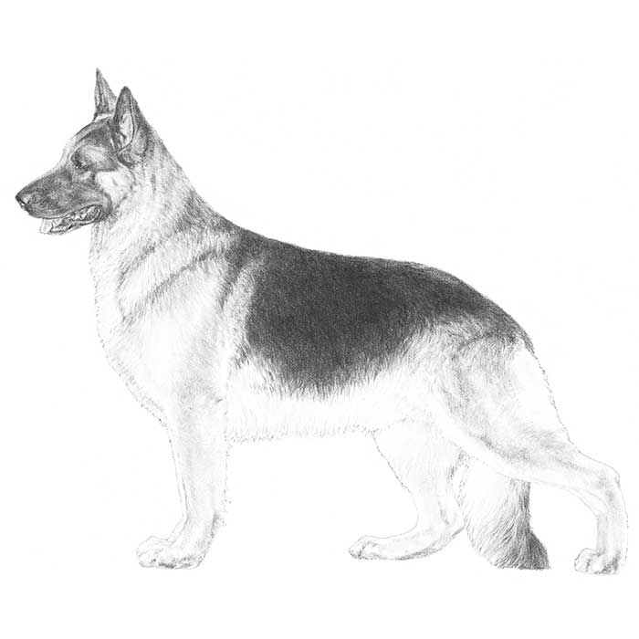German Shepherd Dog Breed Standard Illustration