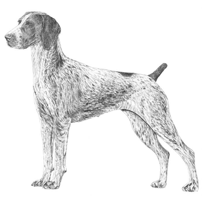 German Shorthaired Pointer Breed Standard Illustration