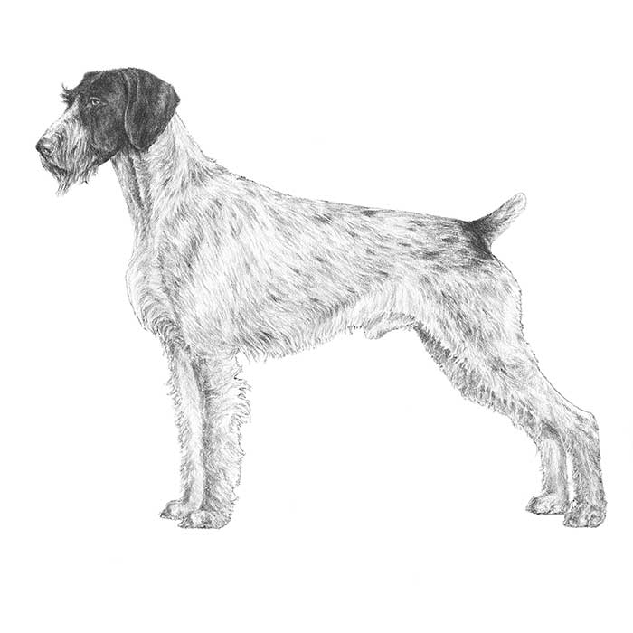 German Wirehaired Pointer Breed Standard Illustration