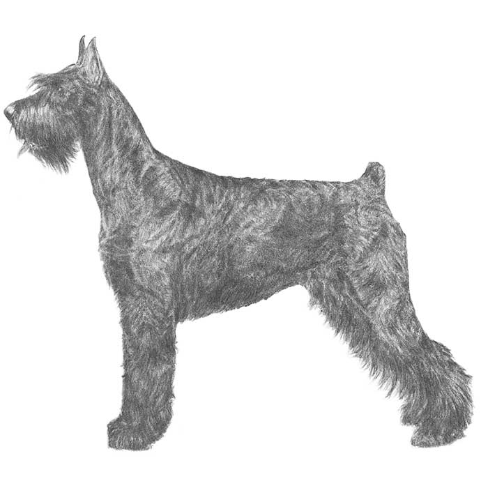 Giant Schnauzer Breed Standard Illustration