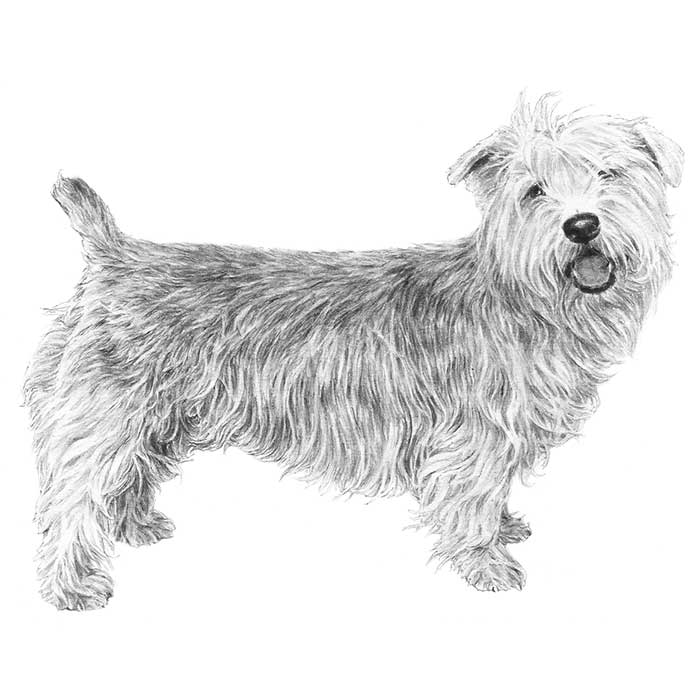 Glen of Imaal Terrier Breed Standard Illustration
