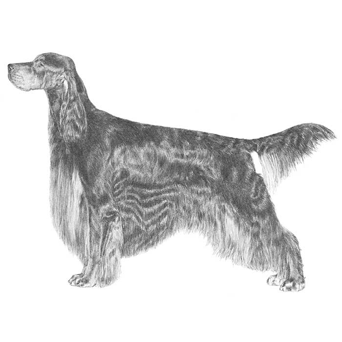 Gordon Setter Breed Standard Illustration