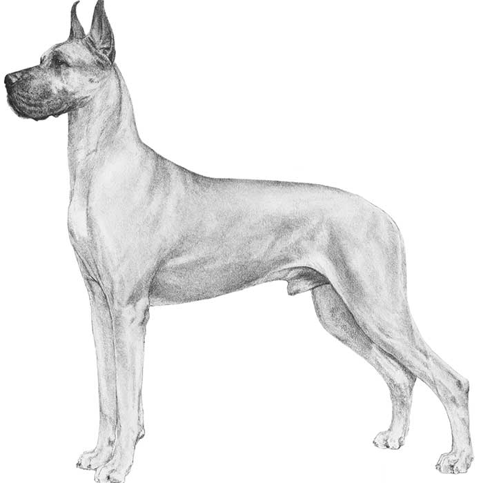 Great Dane Breed Standard Illustration