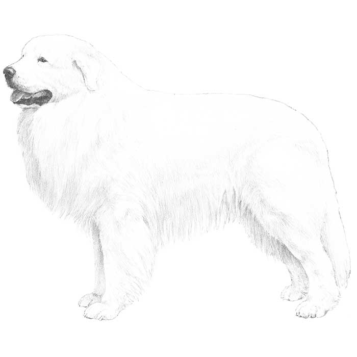Great Pyrenees Breed Standard Illustration