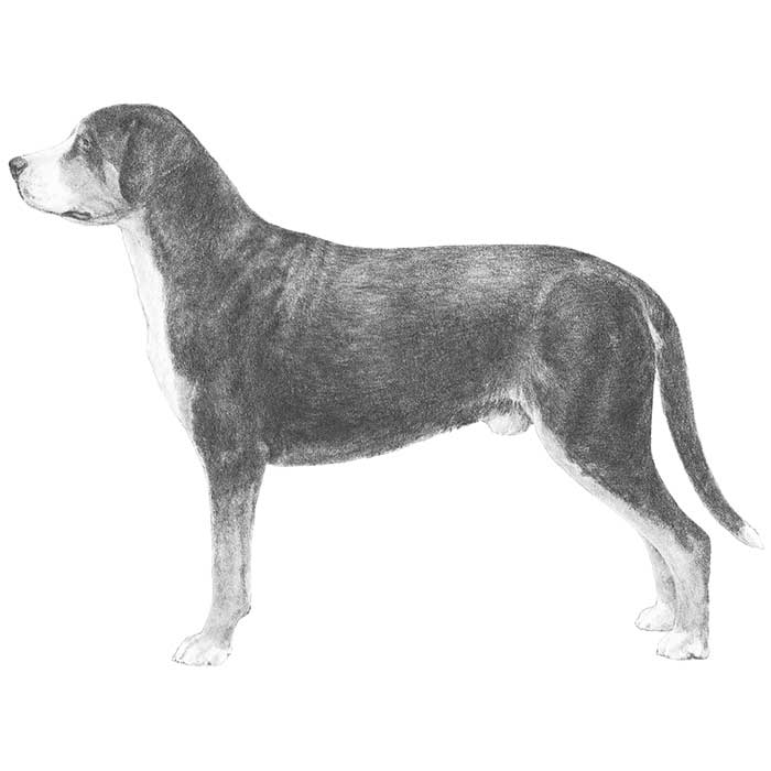 Greater Swiss Mountain Dog Breed Standard Illustration
