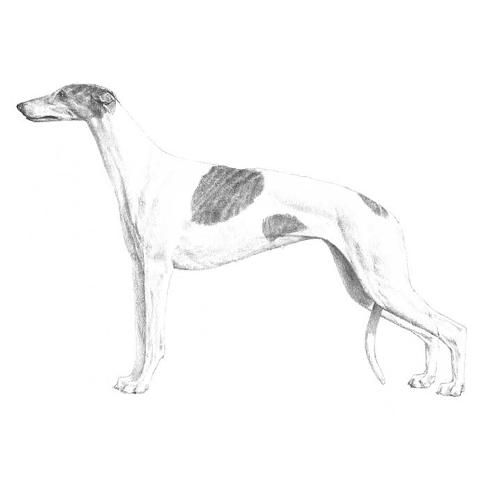 Greyhound Breed Standard Illustration