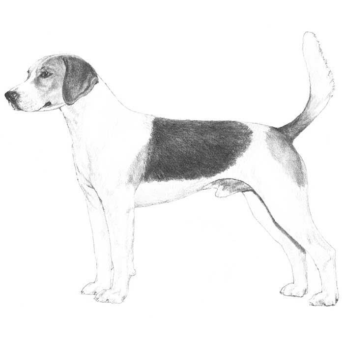 Harrier Breed Standard Illustration