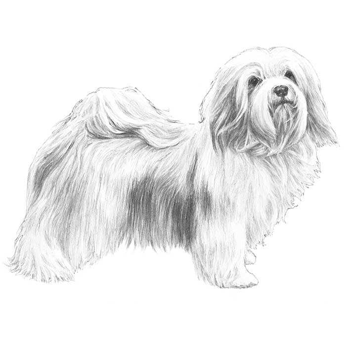 Havanese Breed Standard Illustration