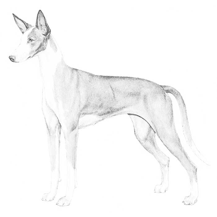 Ibizan Hound Breed Standard Illustration