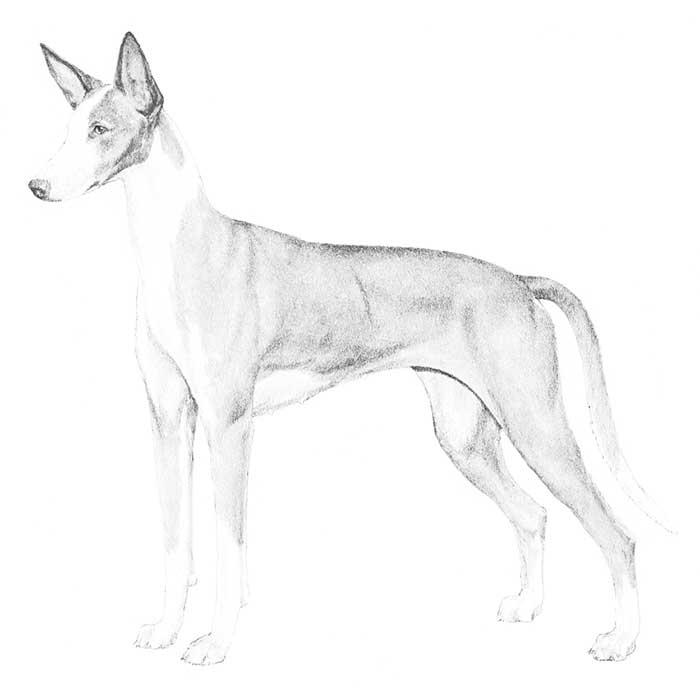 Ibizan Hound Breed Standard Illustration