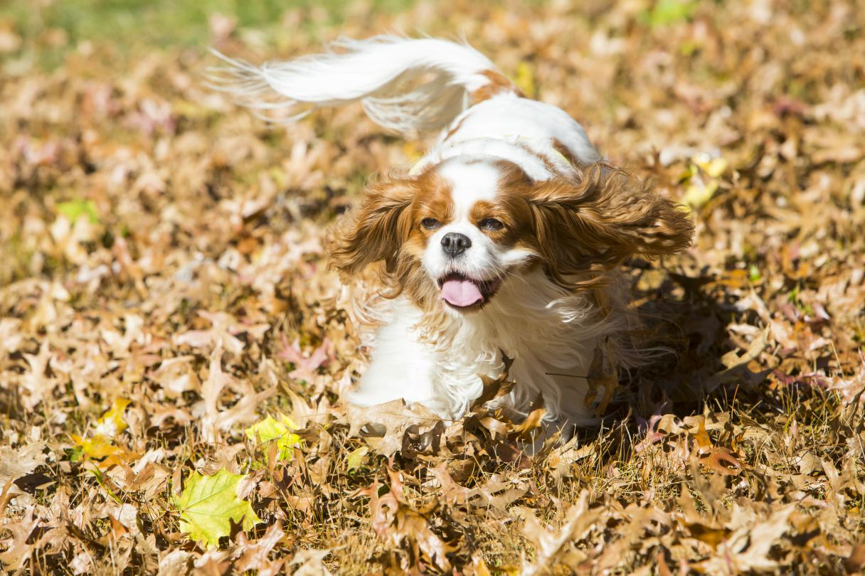 The 25 Smallest Dog Breeds - American Kennel Club