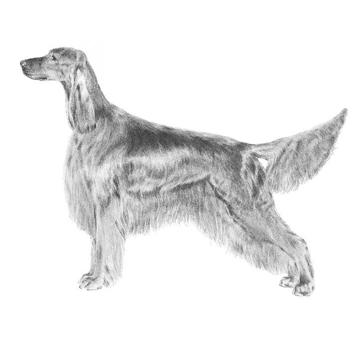 Irish Setter Breed Standard Illustration