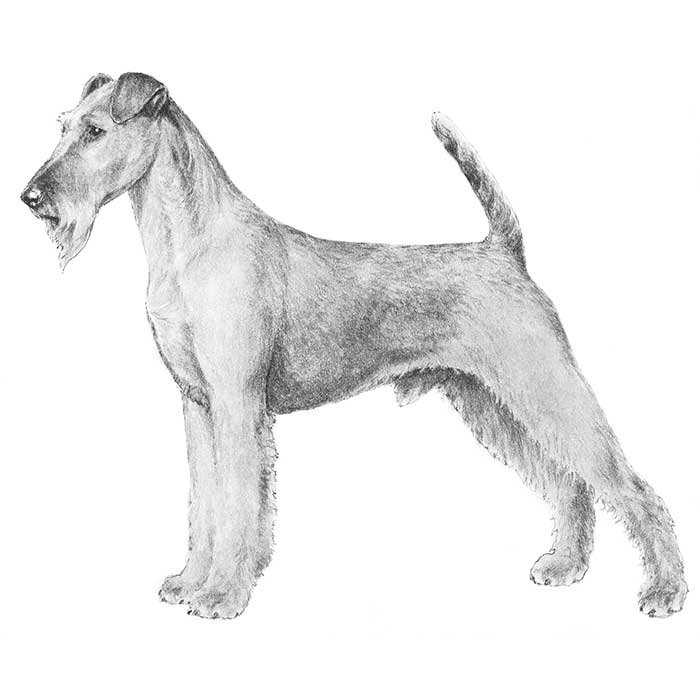 Irish Terrier Breed Standard Illustration