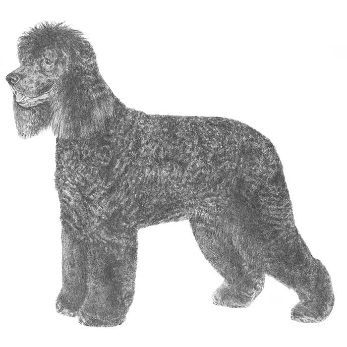 Irish Water Spaniel Breed Standard Illustration