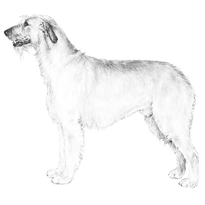 Irish Wolfhound Breed Standard Illustration