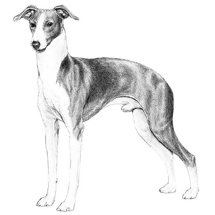 Italian Greyhound Breed Standard Illustration