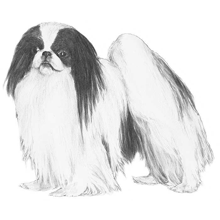 Japanese Chin Breed Standard Illustration