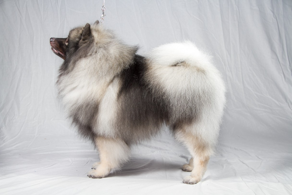 Keeshond Breed Standard Illustration