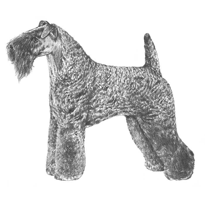 Kerry Blue Terrier Breed Standard Illustration