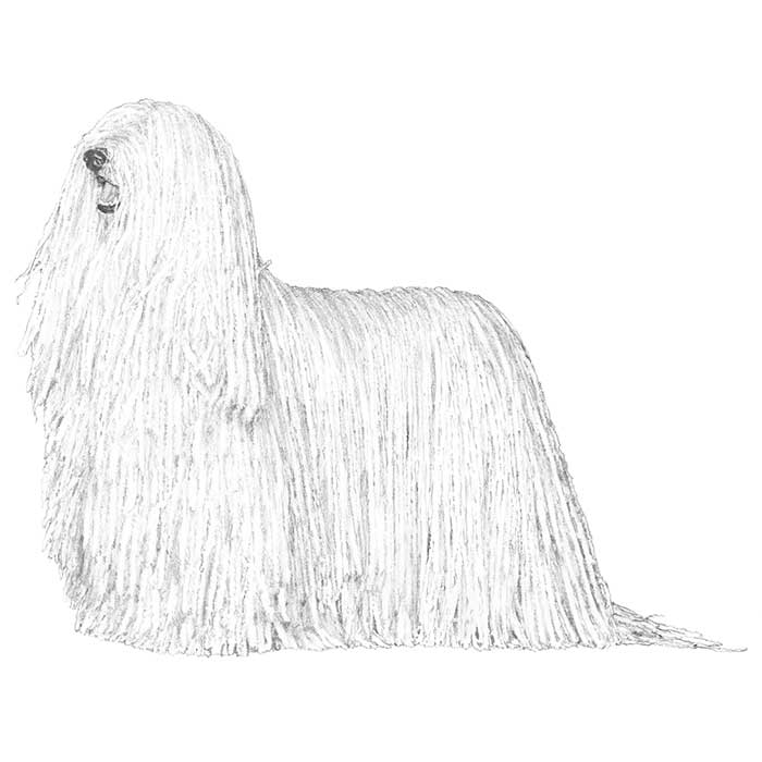 Komondor Breed Standard Illustration
