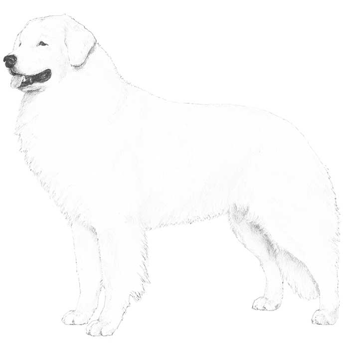 Kuvasz Breed Standard Illustration