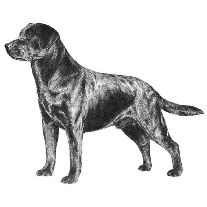 Labrador Retriever Dog Breed Information - American Kennel Club