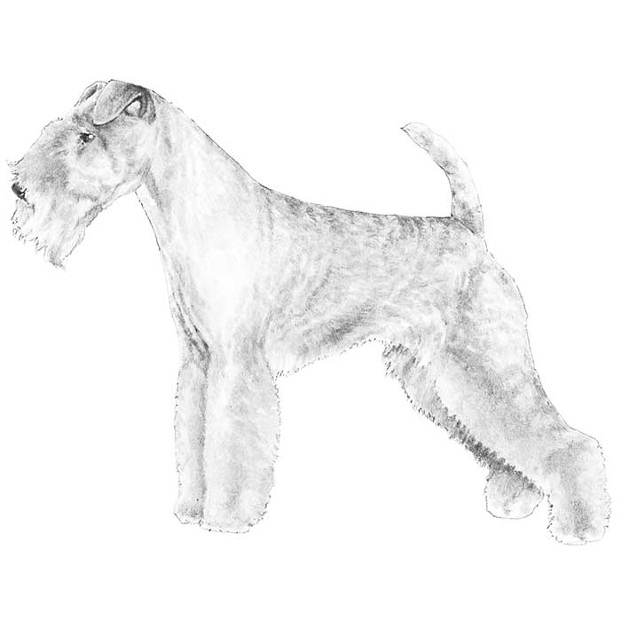 Lakeland Terrier Breed Standard Illustration