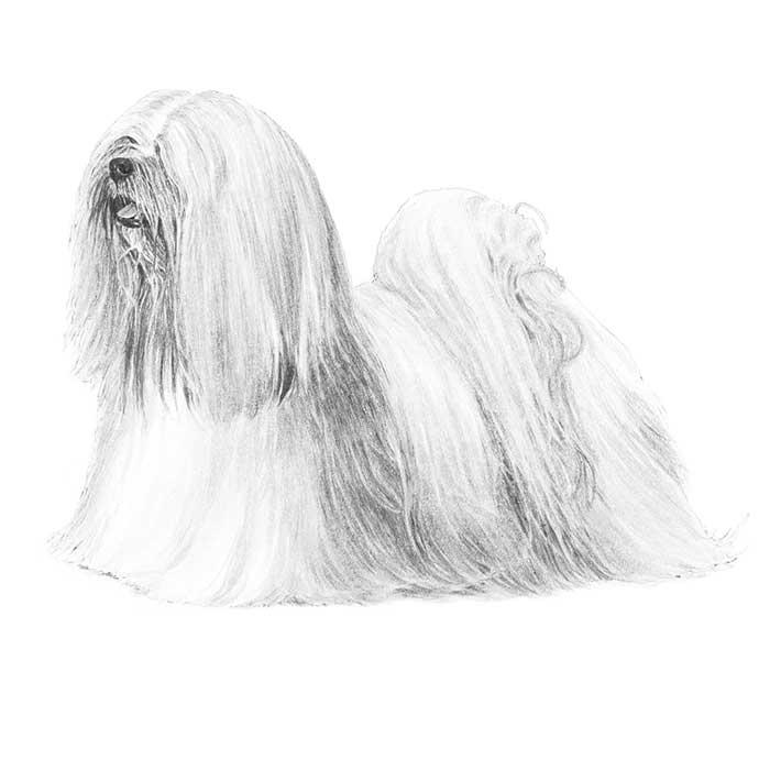 Lhasa Apso Breed Standard Illustration