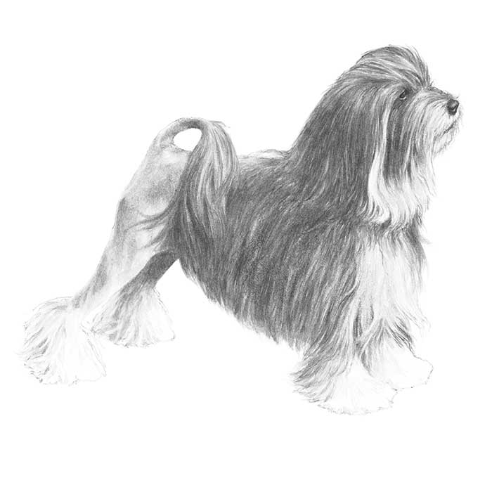 Lowchen Breed Standard Illustration