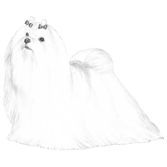 Maltese Breed Standard Illustration