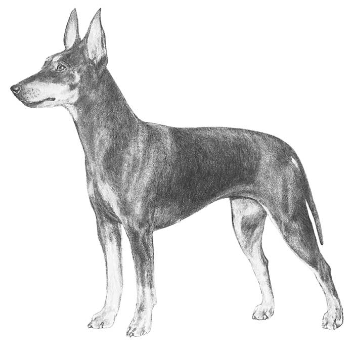 Manchester Terrier Breed Standard Illustration