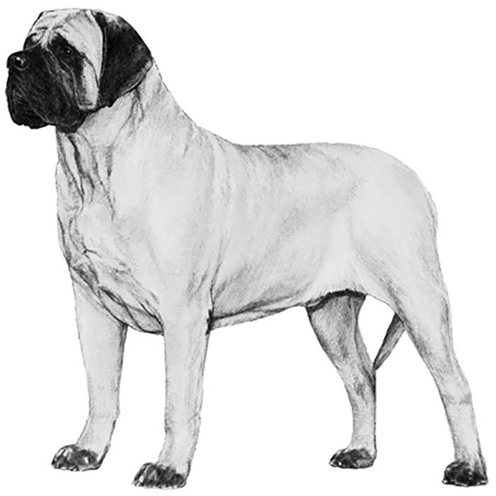 Mastiff Breed Standard Illustration