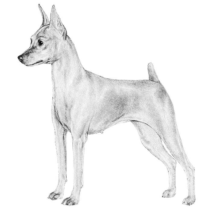 Miniature Pinscher Breed Standard Illustration