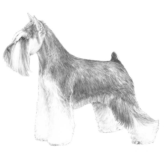 Miniature Schnauzer Breed Standard Illustration