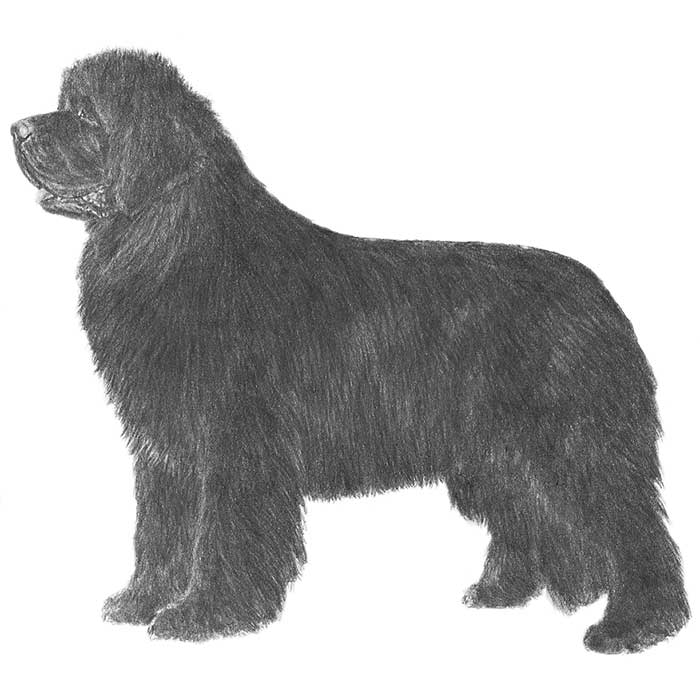 Newfoundland Breed Standard Illustration