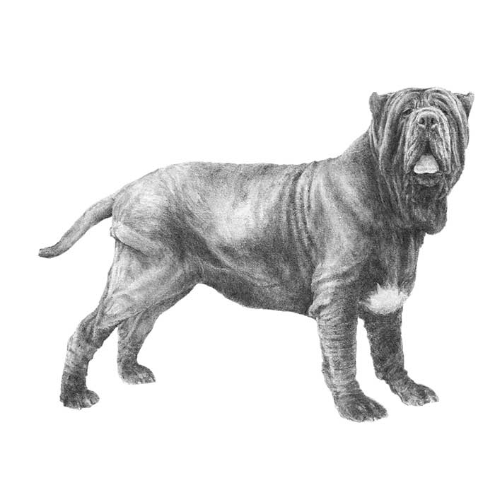 Neapolitan Mastiff Breed Standard Illustration