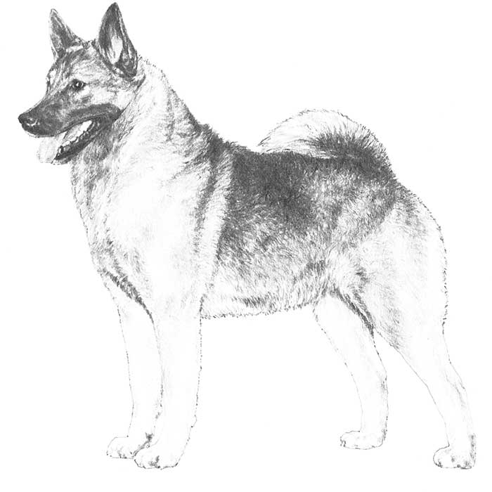 Norwegian Elkhound Breed Standard Illustration