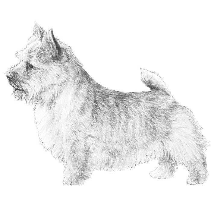 Norwich Terrier Breed Standard Illustration