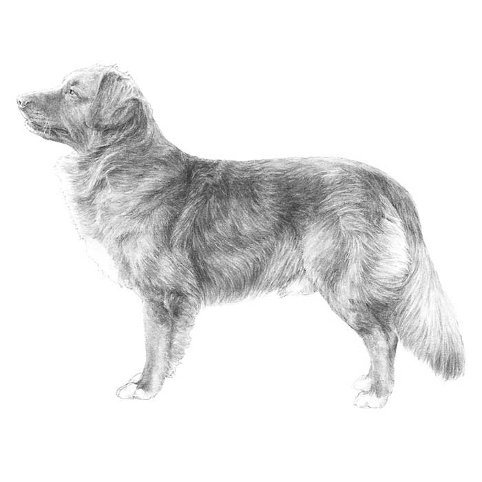 Nova Scotia Duck Tolling Retriever Breed Standard Illustration